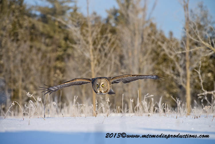 Great Grey Owl Picture-765
