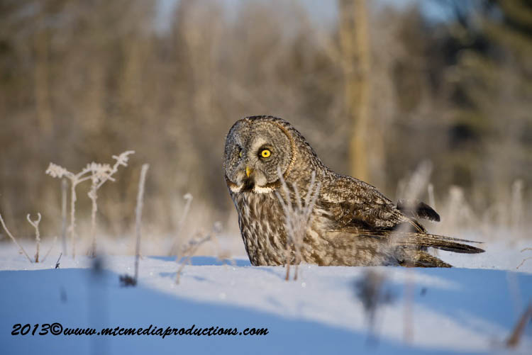 Great Grey Owl Picture-766