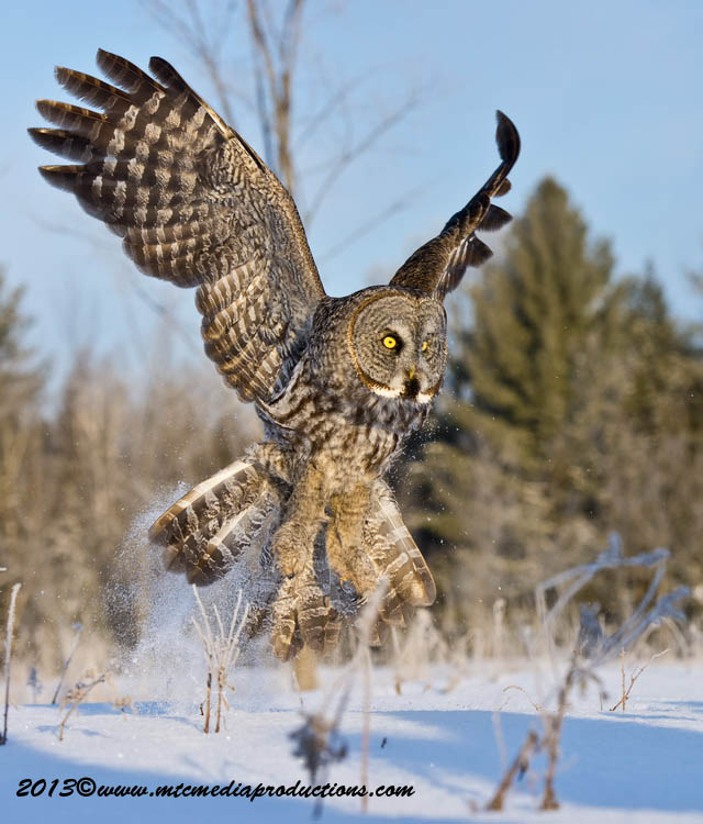 Great Grey Owl Picture-767