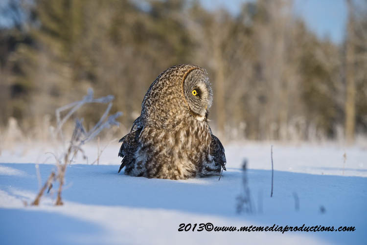 Great Grey Owl Picture-768