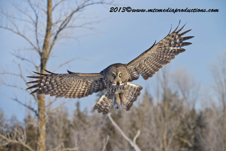 Great Grey Owl Picture-769
