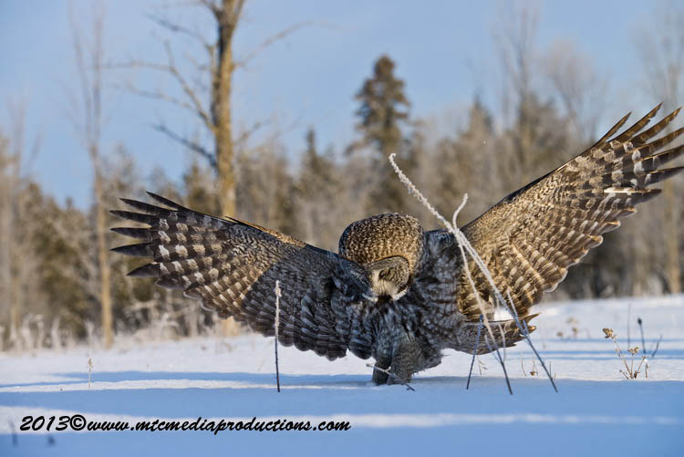 Great Grey Owl Picture-770
