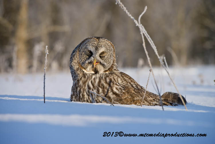 Great Grey Owl Picture-771
