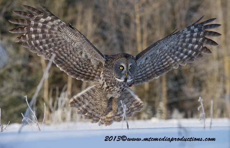 Great Grey Owl Picture-773