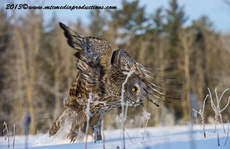Great Grey Owl Picture-774