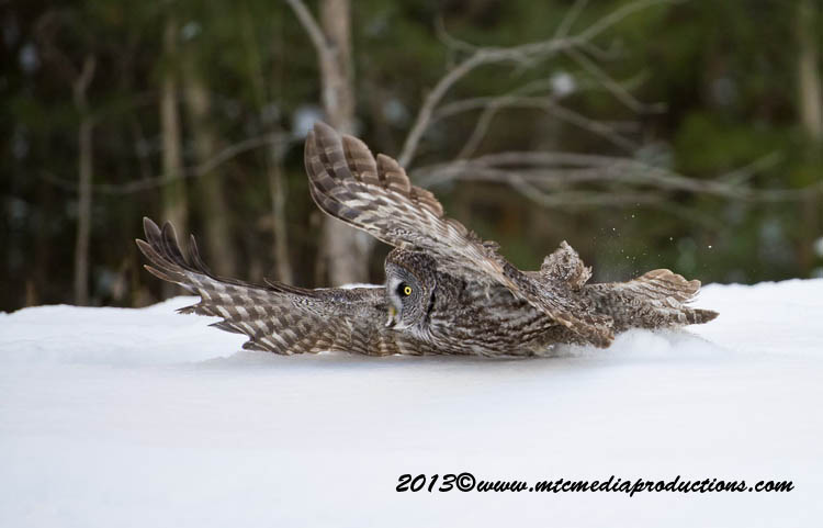 Great Grey Owl Picture-775