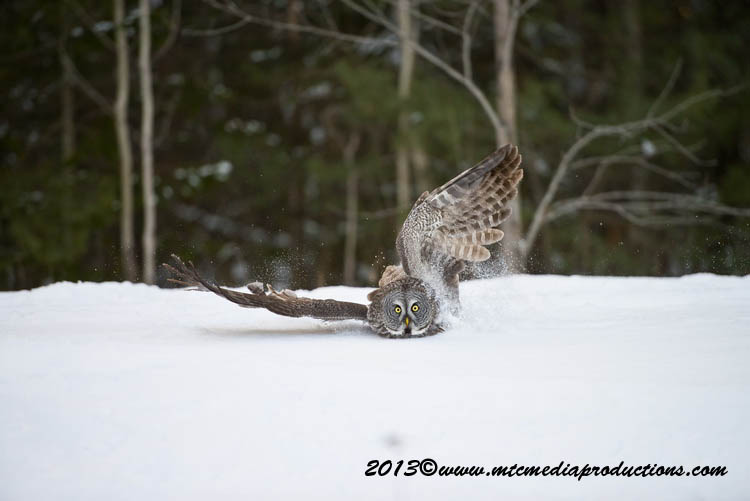 Great Grey Owl Picture-776
