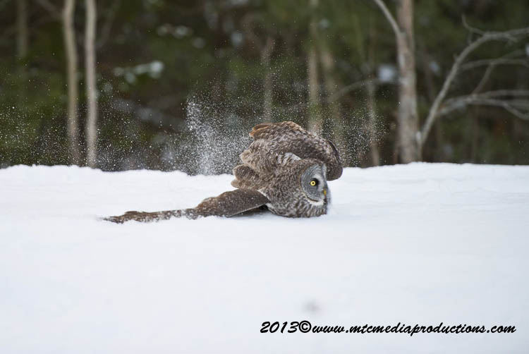Great Grey Owl Picture-777