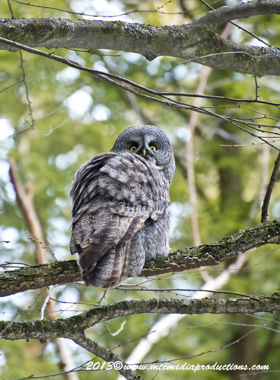 Great Grey Owl Picture-778