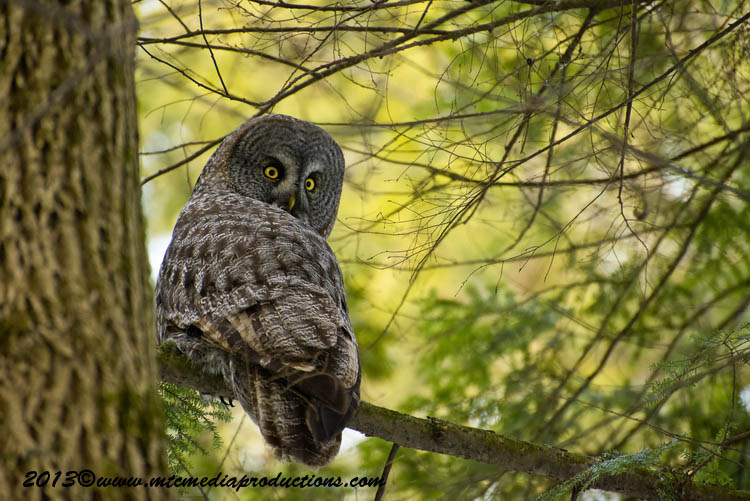 Great Grey Owl Picture-779