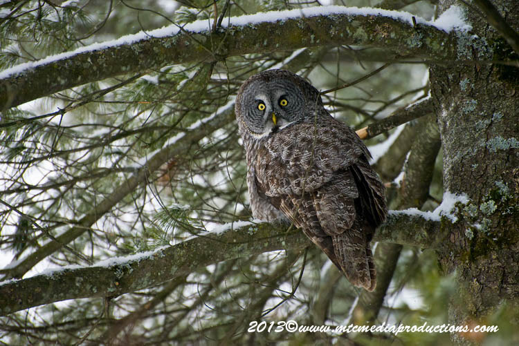Great Grey Owl Picture-780