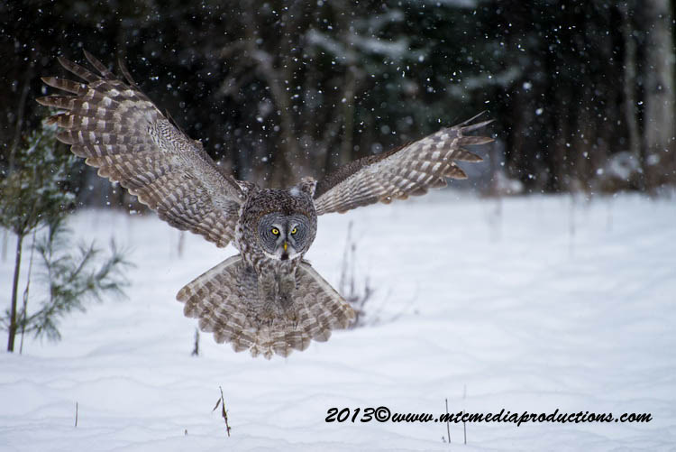 Great Grey Owl Picture-781