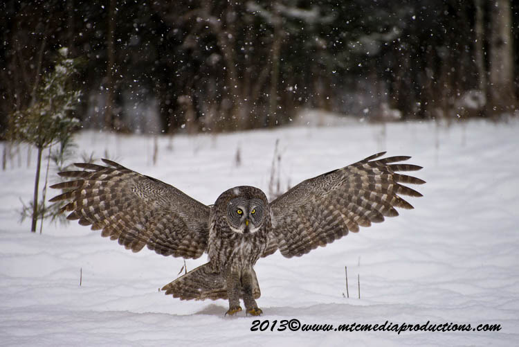 Great Grey Owl Picture-782