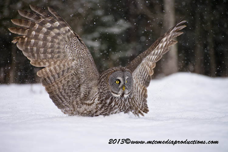 Great Grey Owl Picture-783