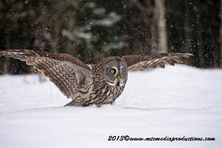 Great Grey Owl Picture-784