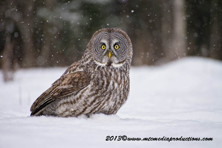 Great Grey Owl Picture-785