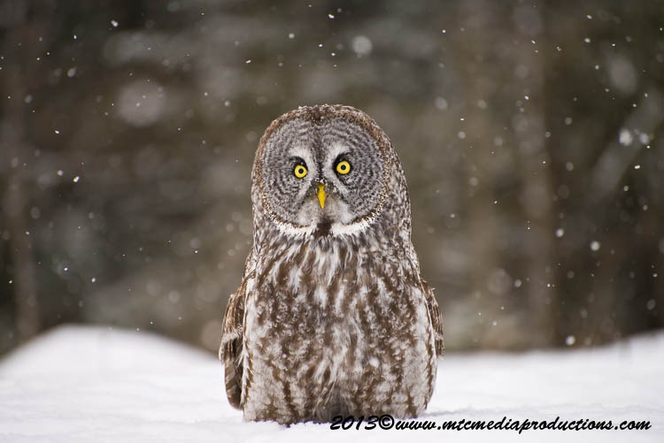 Great Grey Owl Picture-786