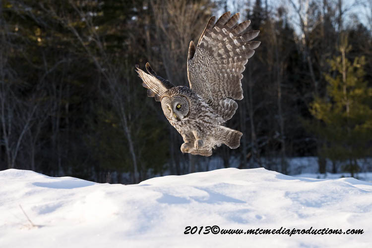 Great Grey Owl Picture-787