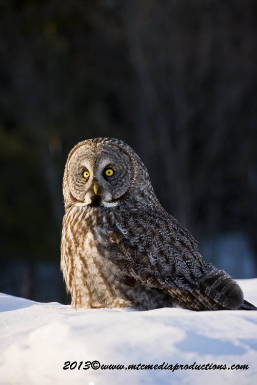 Great Grey Owl Picture-789