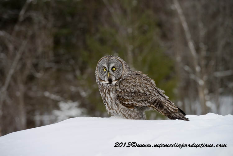 Great Grey Owl Picture-790
