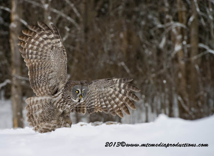 Great Grey Owl Picture-792
