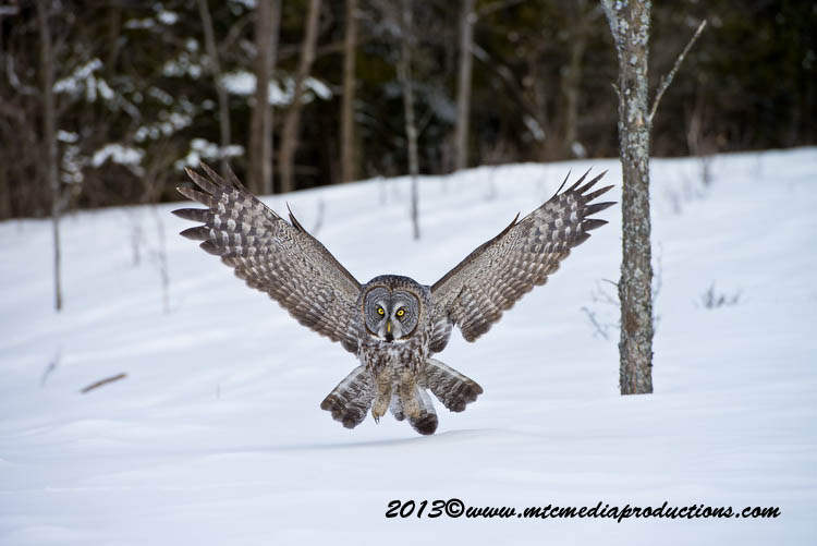Great Grey Owl Picture-793