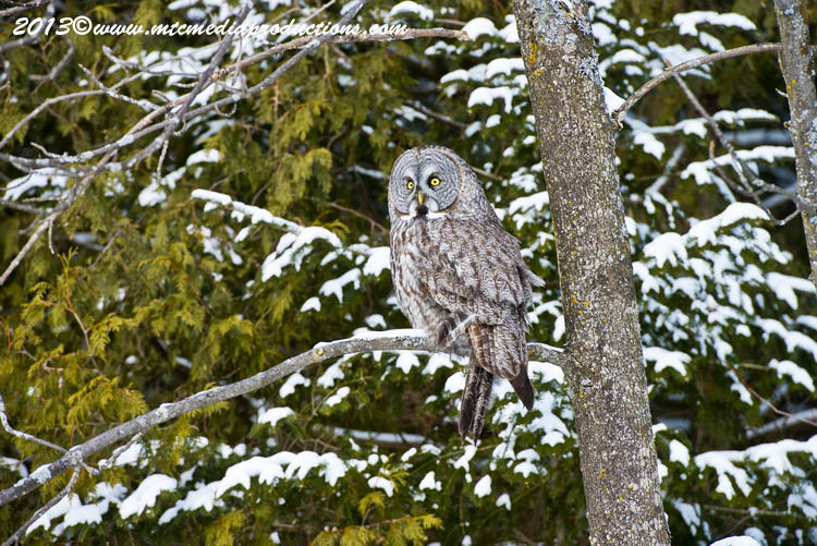 Great Grey Owl Picture-794