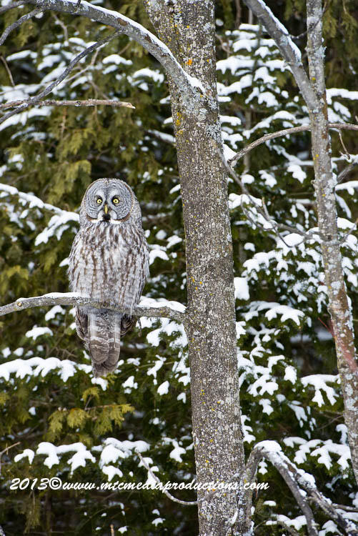 Great Grey Owl Picture-795