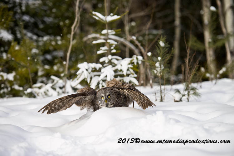 Great Grey Owl Picture-796