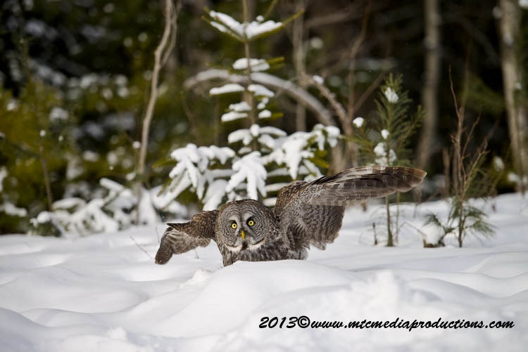 Great Grey Owl Picture-797