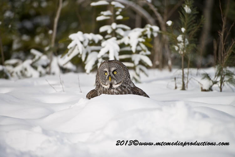 Great Grey Owl Picture-798