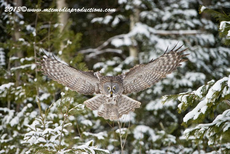 Great Grey Owl Picture-799