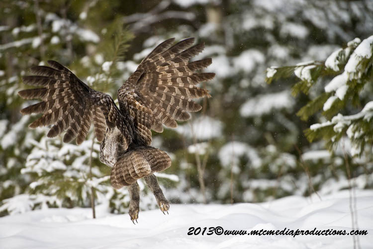 Great Grey Owl Picture-800