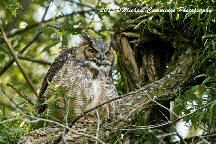 Great Horned Owl Picture
