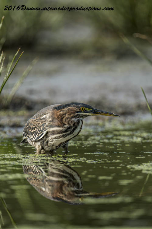 Green Heron Picture-661