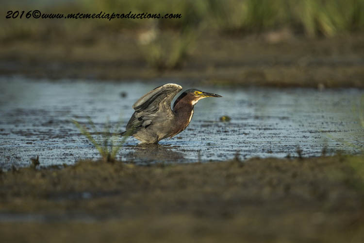 Green Heron Picture-664