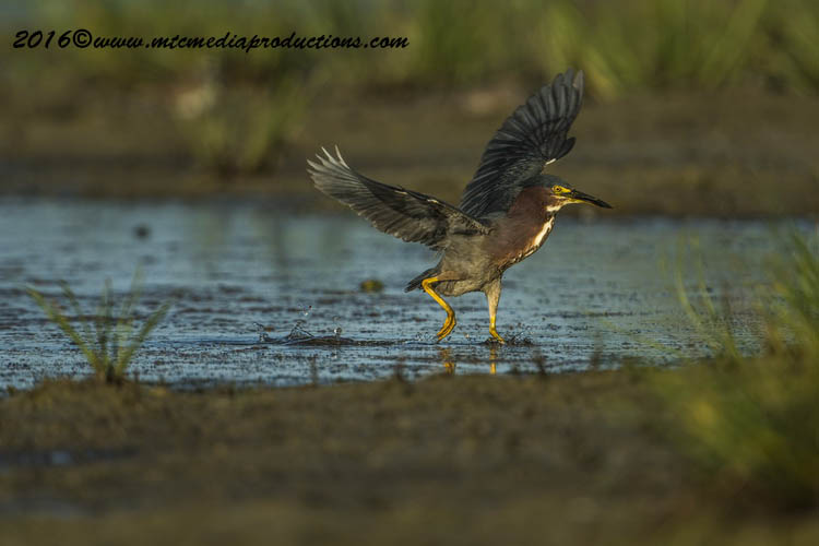 Green Heron Picture-665