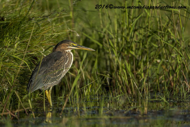 Green Heron Picture-666