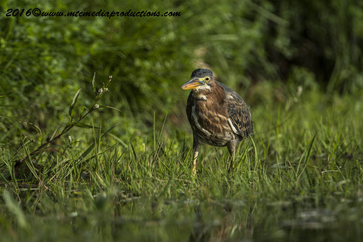 Green Heron Picture-667