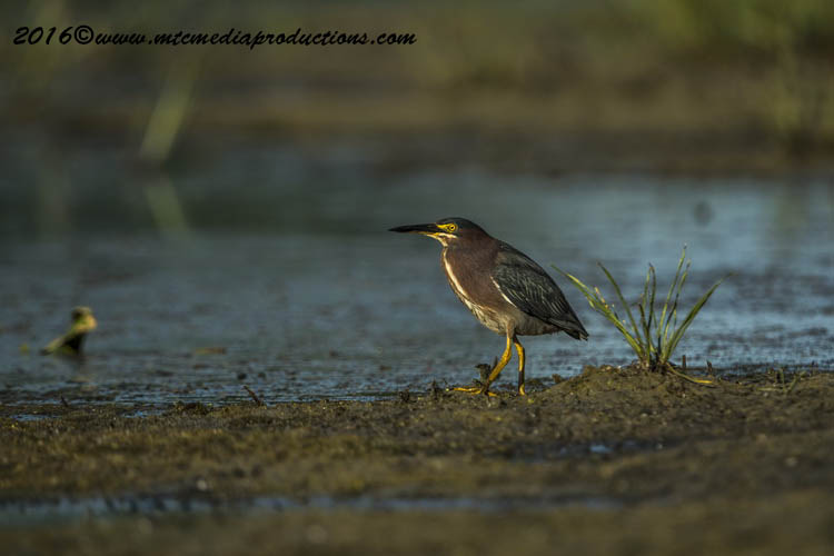 Green Heron Picture-668