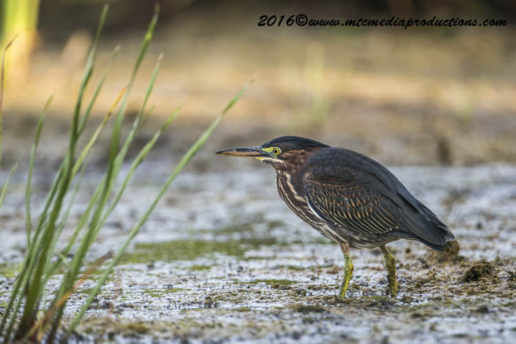 Green Heron Picture-669