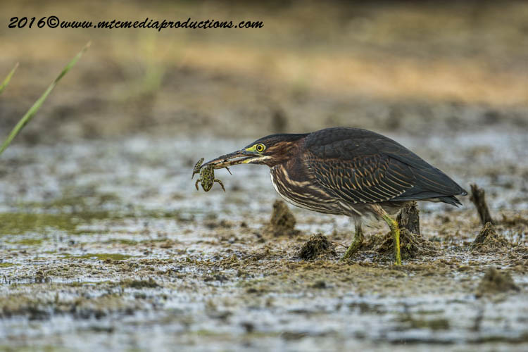 Green Heron Picture-670