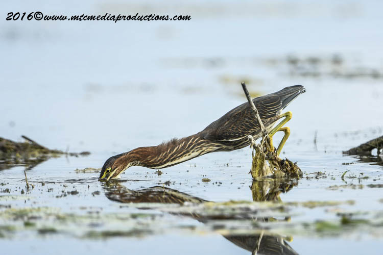 Green Heron Picture-671