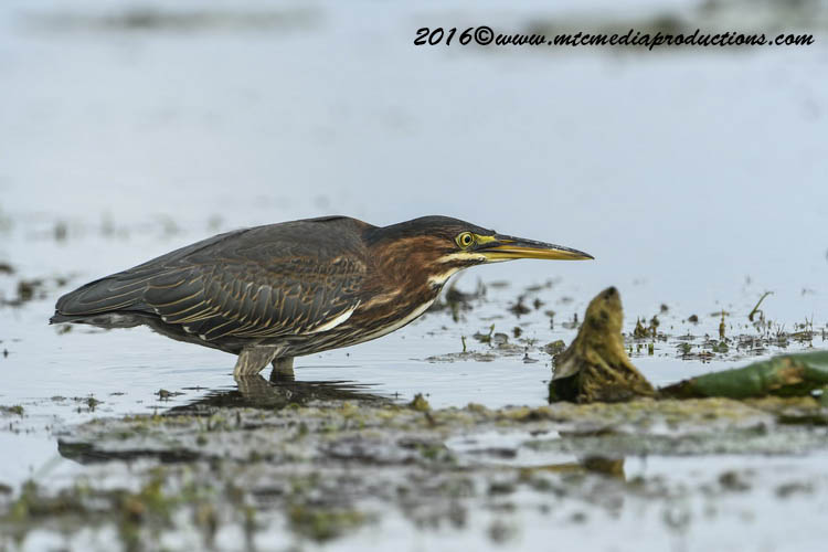 Green Heron Picture-672