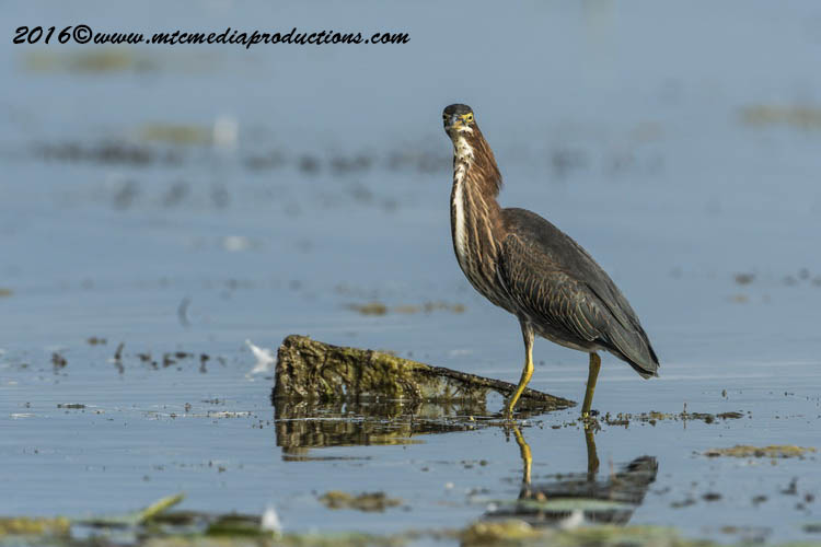 Green Heron Picture-673