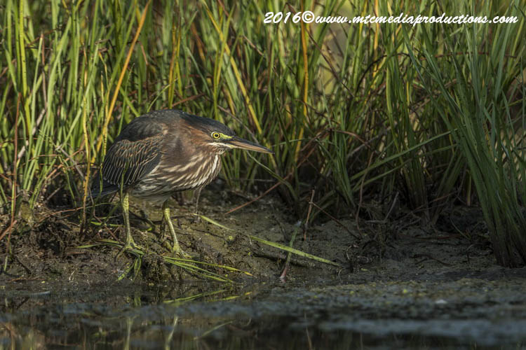 Green Heron Picture-674