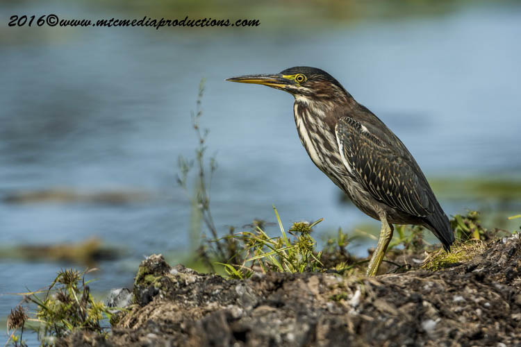 Green Heron Picture-677