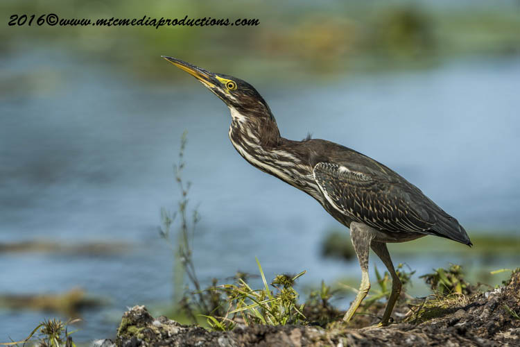 Green Heron Picture-679