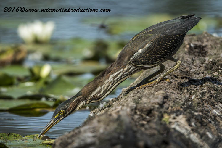 Green Heron Picture-681