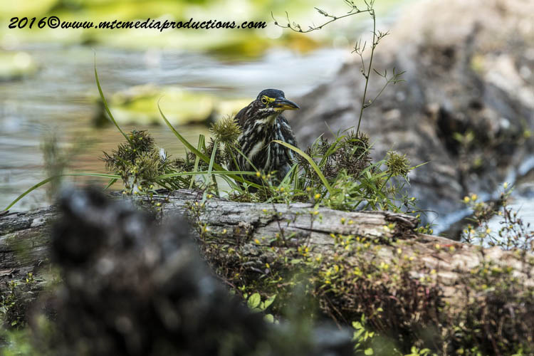 Green Heron Picture-682